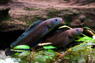 A 'walking' snakehead fish.
