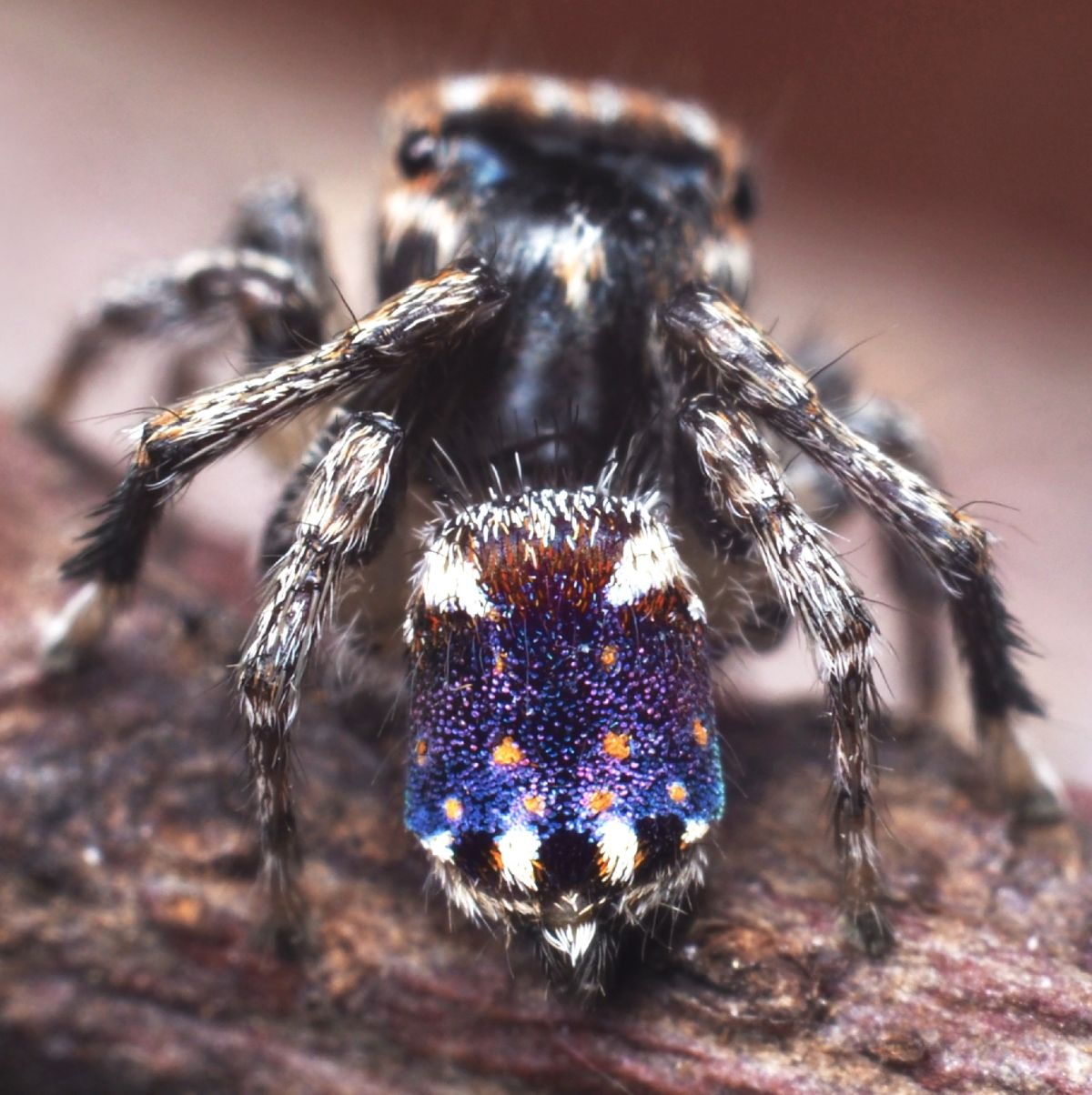 'Starry Night' replica found on peacock spider's butt - Livescience.com