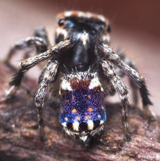 The peacock spider M. constellatus