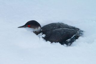 An eared grebe in need of rescuing, after it crash-landed onto the snow-covered ground in St. George, UT, mistaking it for a lake. Credit: Utah Division of Wildlife, Lynn Chamberlain