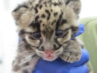 clouded leopard cub, cubs, cute baby animals