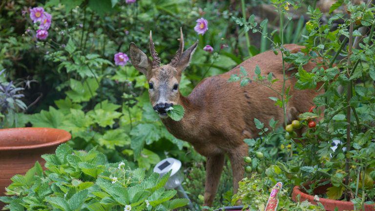 A deer in garden
