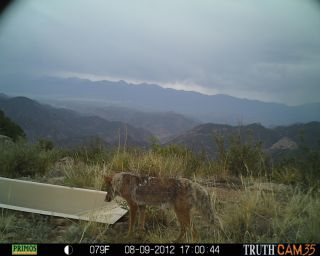 Coyote at water tank