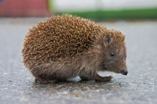 hedgehog, endangered species