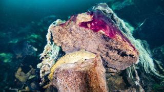 A burbot fish rests on rocks covered in purple and white microbial mats, inside the Middle Island Sinkhole in Lake Huron.