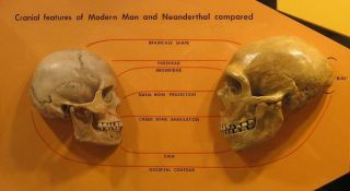 Side-by-side comparison of Neanderthal and modern human skulls from the Cleveland Museum of Natural History.