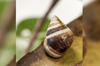 George, the last known <em>Achatinella apexfulva</em> snail in the Hawaiian Islands, died on New Year's Day, 2019.