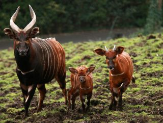 Belfast Zoological Gardens is celebrating the birth of two bongo calves, who have been named Bert and Bo.