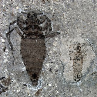 Jurassic fleas from China.