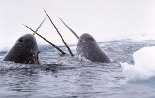 narwhals-tusks-ice-110607