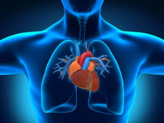 The human heart, shown in its place within the chest.