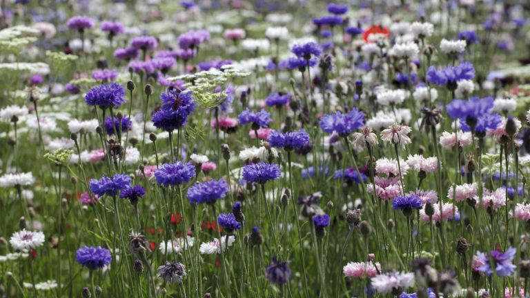 A wildlife garden: wildflower meadow with cornflowers