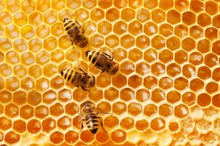 Close up of three honeybees crawling on a honeycomb.