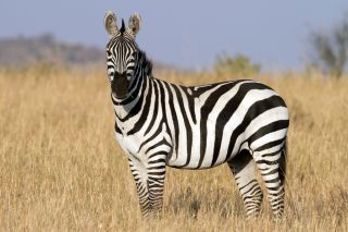 Zebra in the grasslands of the Serengeti at dawn in Tanzania, East Africa.