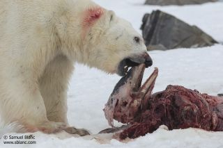 An adult male polar bear feeds on the head of a white-beaked dolphin on a fjord on Svalbard,