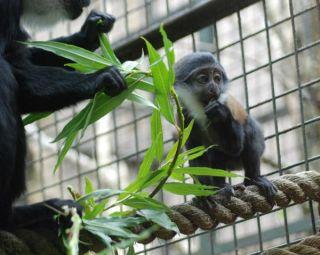 lhoest-monkey-baby-3-110908-02