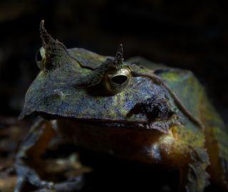 Solomon's Horned Frog