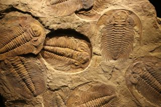 fossils of trilobites
