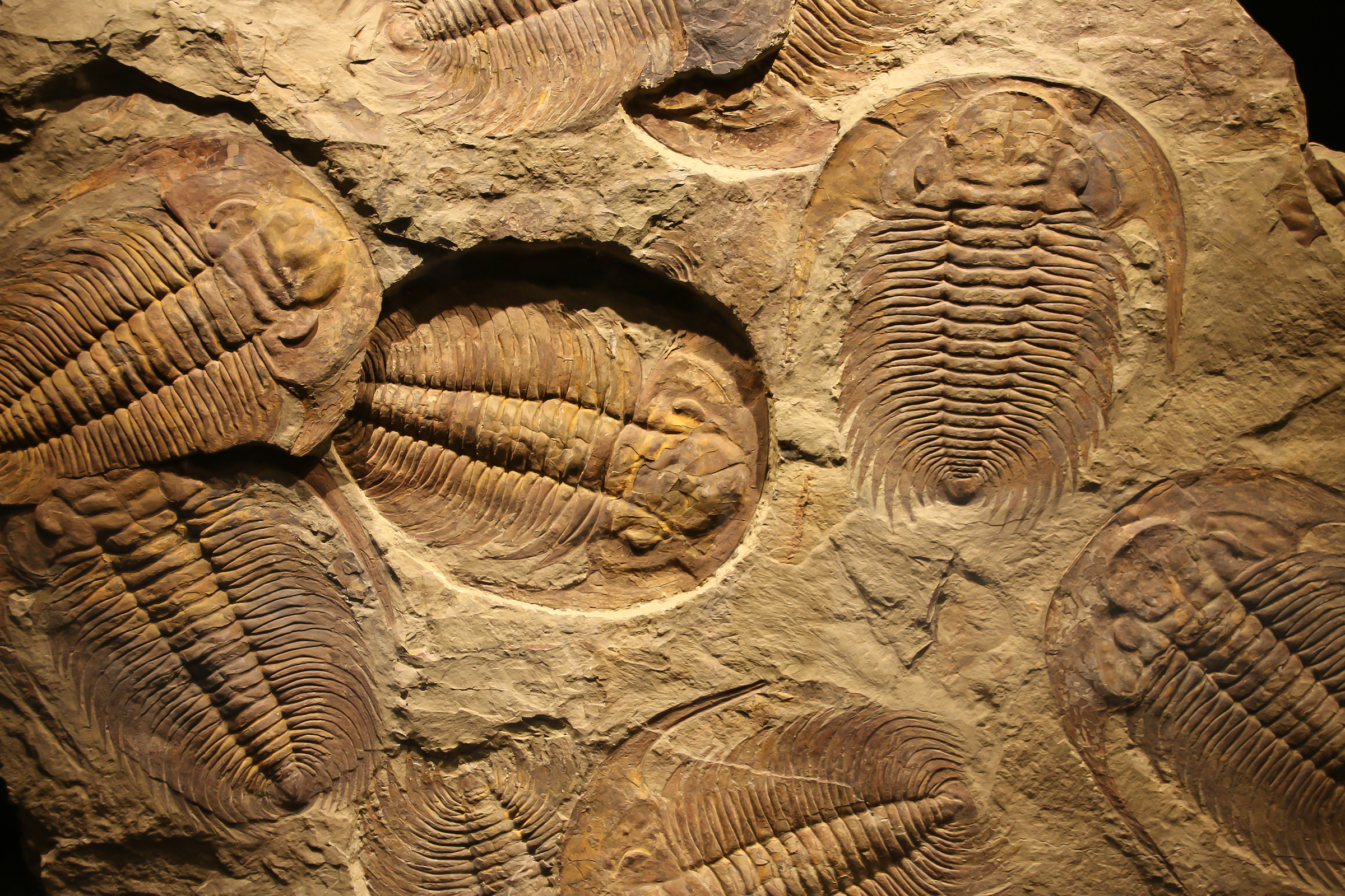 What did trilobites go extinct? thumbnail