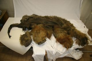 The mummified carcass of the 39,000-year-old woolly mammoth nicknamed Yuka.