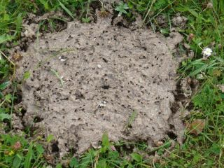 By digging around in their food, dung beetles like Aphodius pedellus may aerate cow pats -- and thereby reduce methane emissions.