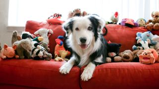 Dog smiling surrounded by many stuffed toys on red sofa