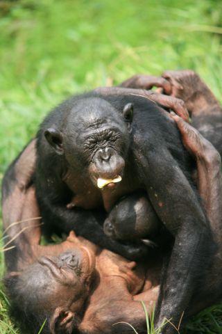 bonobos, homosexuality, natural behavior