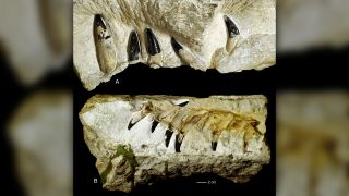 ] Jaws and teeth of pliosaurs from Krzyżanowice in the Polish Holy Cross Mountains.