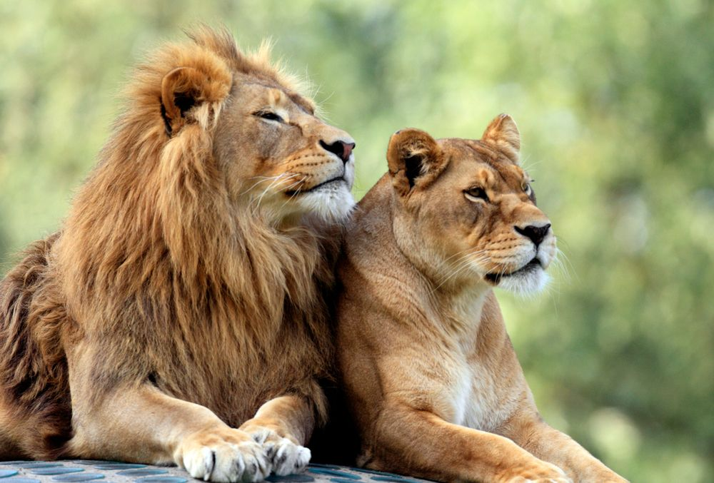 Lions: The Uniquely Social 'King of the Jungle' | Live Science