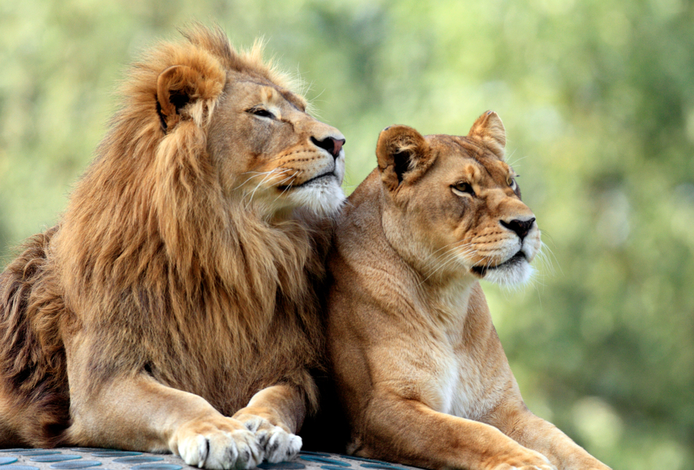 Lions The Uniquely Social King Of The Jungle Live Science