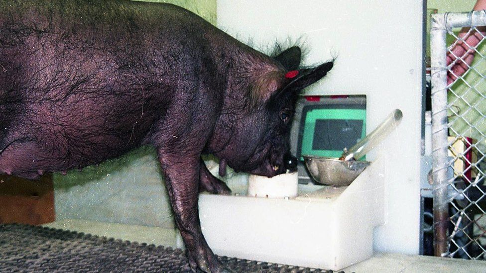 Pigs can be taught to play games, but they keep hogging the controller