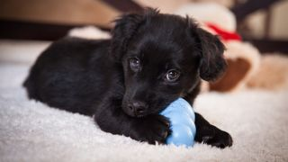 Puppy chewing a toy