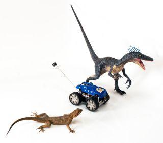 A lizard (<em>Agama agama</em>) with the Tailbot robot and a model of <em>Velociraptor</em>.