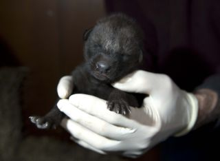 A new maned wolf pup born at the Smithsonian Conservation Biology Institute.