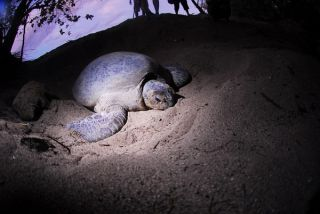 female turtle in her nest