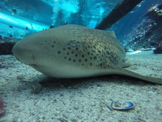 Leonie the zebra shark doesn't seem to need a mate: She recently gave birth to three pups via asexual reproduction at the Reef HQ Aquarium in Townsville, Australia.