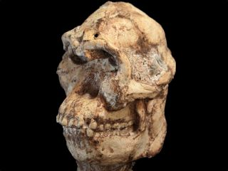 In a recent study, scientists compared the skull of Little Foot (shown here) with that of other hominins.