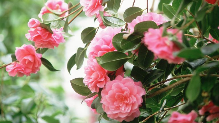 pink double camellia in full bloom