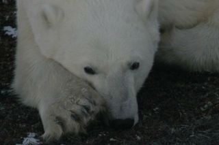 Polar bears decimating seabird colonies