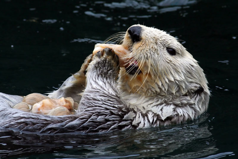 what is a otters diet like