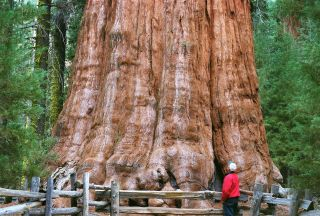 The General Sherman Tree in California's Sequoia National Park is the world's largest tree by volume.