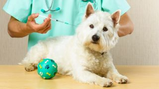 Does pet insurance cover vaccines? Highland Terrier getting a vaccine from a vet