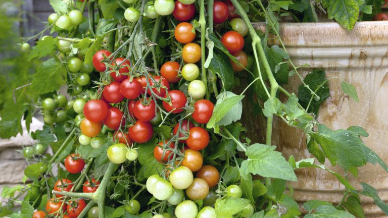 growing tomatoes from seeds
