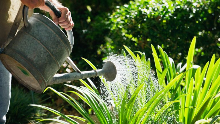 Watering garden plants with a watering can
