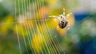 A European garden spider (Araneus diadematus) spinning a web.