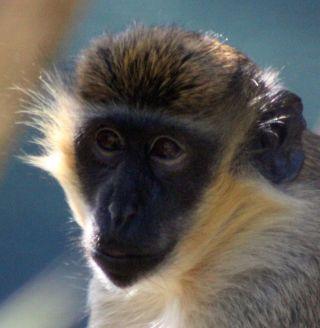 guenon monkey