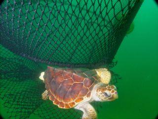 Baby sea turtle escapes, sea turtles