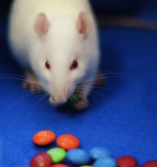 A rat eating M&Ms.