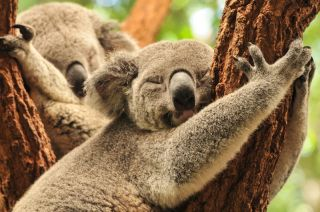 Koala bears sleeping up in the trees.