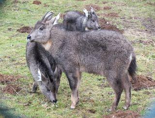 chinese gorals, conservation, endangered species